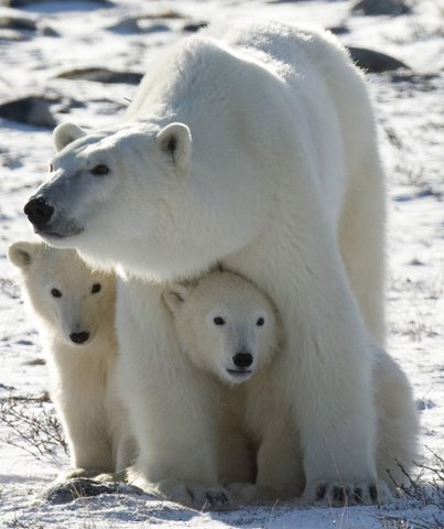 Russian Video: Polar Bears
